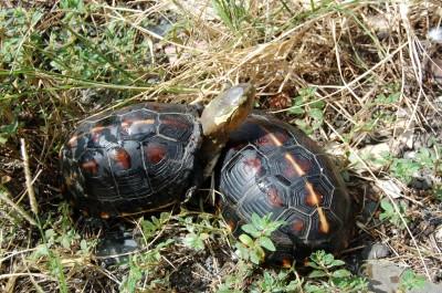 台灣食蛇龜遭濫捕高價賣中國 男子販龜判刑1年半