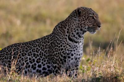 4年來形影不離!攝影師捕捉黑豹、花豹夫妻罕見畫面