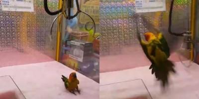 驚恐眼神瞪著人類!活鸚鵡慘被放入娃娃機當獎品