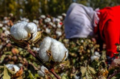 傳美國將禁新疆棉製品進口 反擊北京侵犯維吾爾人權