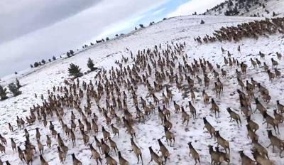 撐過延燒5月 上千隻麋鹿奔馳遷徙過冬