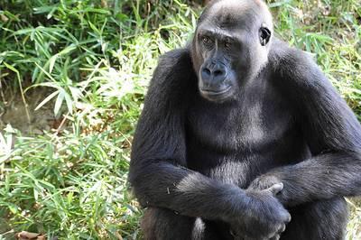 美動物園為靈長類接種疫苗 獎勵是吃蜂蜜