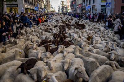 西班牙遷徙放牧節 上千隻羊擠滿街頭