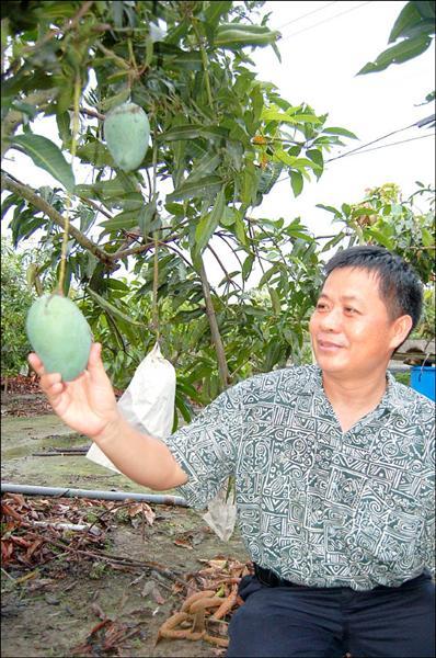 「黑香」芒果吃起來有淡淡的龍眼香味,但深綠色的表皮,常讓消費者誤為尚未成熟而退避三舍。(記者蘇福男攝)