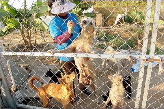 流浪狗收容中心人員正耐心的餵食狗狗藥物,希望能救牠一命。<br>(記者詹士弘攝)