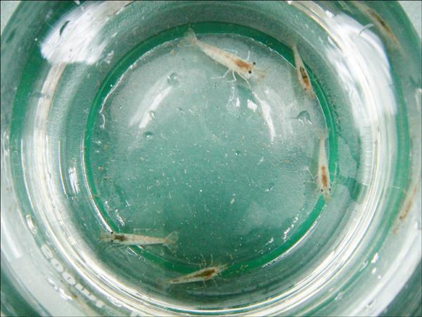 免洗筷泡出來的水,拿來飼養黑殼蝦,短短2小時,黑殼蝦就出現抽搐現象。(記者羅正明攝)