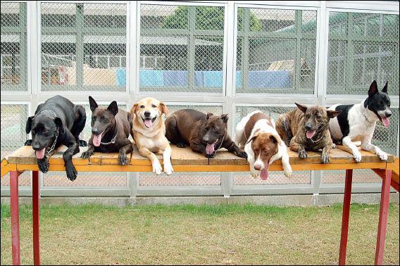 新竹監獄目前訓練的7隻流浪犬個個都相當聽話。(記者王錦義攝)