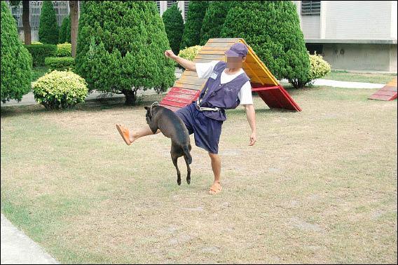 新竹監獄犬訓班把流浪犬訓練成可服從命令的陪伴犬,牠們依口令跳躍。(記者王錦義攝)