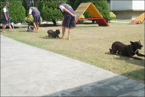 新竹監獄陪伴犬,依口令在地上匍匐前進。(記者王錦義攝)