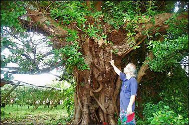 「古榕王」樹上爬滿蔓藤與寄生植物,樹枝被砍斷及腐爛,居民決定發起搶救老樹行動。(記者謝鳳秋攝)