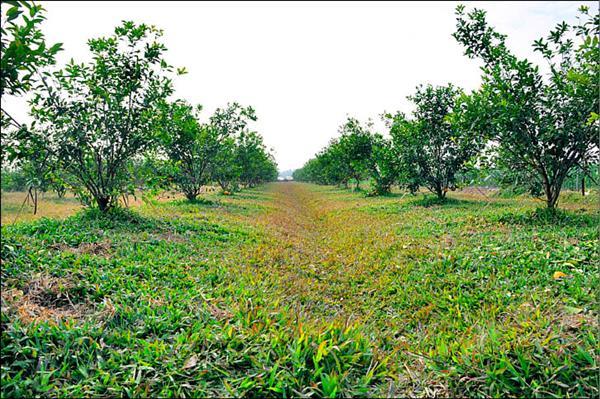 林芳存的果園下鋪滿地毯草,而且沒有蚊蟲。(記者王善嬿攝)
