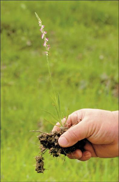 野生的清明草數量少,花蓮民眾認為較人工種植具療效。(記者游太郎攝)