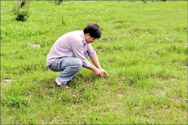 花蓮地區的草地上,近來常見民眾蹲著辛苦找尋清明草。(記者游太郎攝)