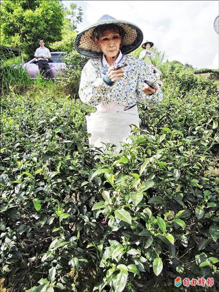 八十多歲的練鄭旦阿嬤踏進坪林茶園,重溫年輕時採茶記憶。(記者黃邦平攝)