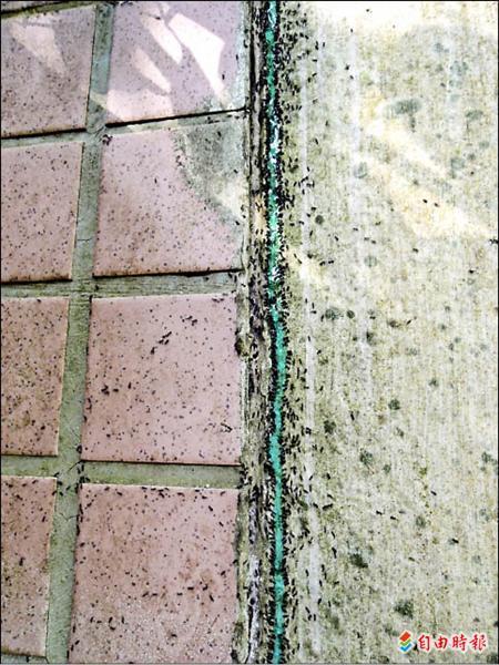 陳先生住家外牆有大批黑蟻正在行軍遷移,施用誘食的驅蟻劑後,黑蟻立即圍過來。(記者余雪蘭攝)