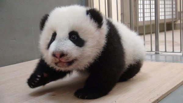 圓仔獲榮譽市民證。(圖:台北市立動物園提供)