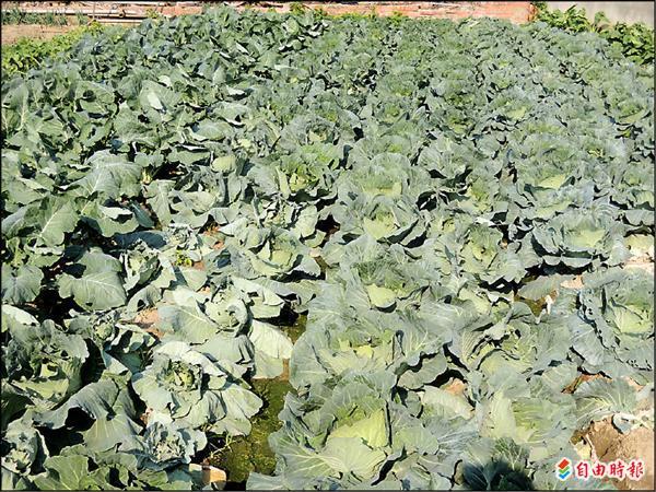縣府表示,高麗菜已出現超種情況,農民應自制,以免將來生產過剩。(記者蔡文正攝)