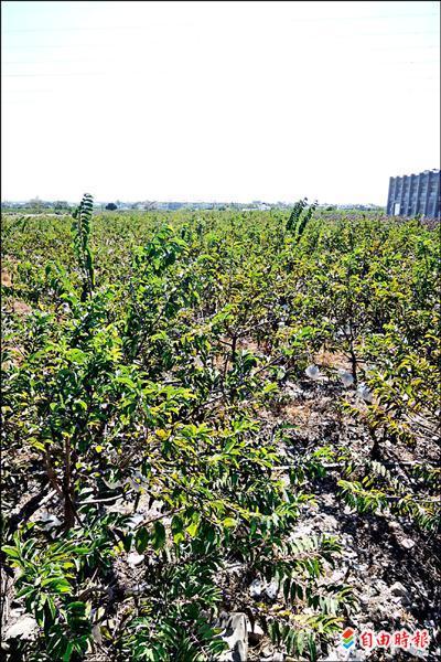 卑南上圳灌溉區以種植釋迦為主。(記者張存薇攝)