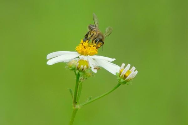台大跨研究團隊解開近年來蜜蜂大量消失之謎。(資料照,記者游太郎攝)