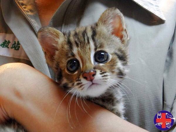 台灣防止虐待動物協會為保護石虎棲息地,在網路號召民眾參與「愛石虎,不愛外環道」記者會。(圖擷取自野生動物急救站臉書)