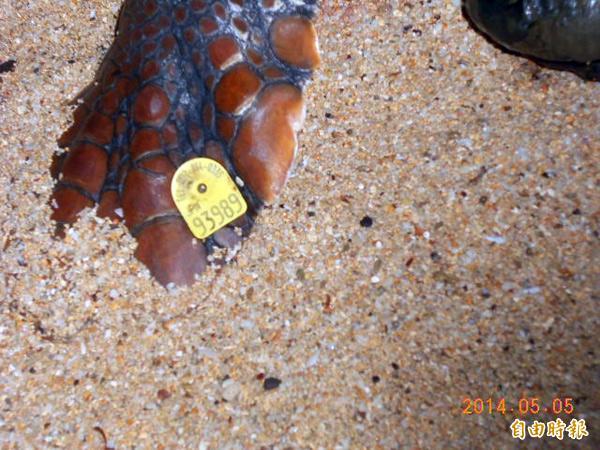 澎湖吉貝沙灘發現的赤蠵龜屍體,前後肢有日本標識野放號碼牌。(記者劉禹慶攝)