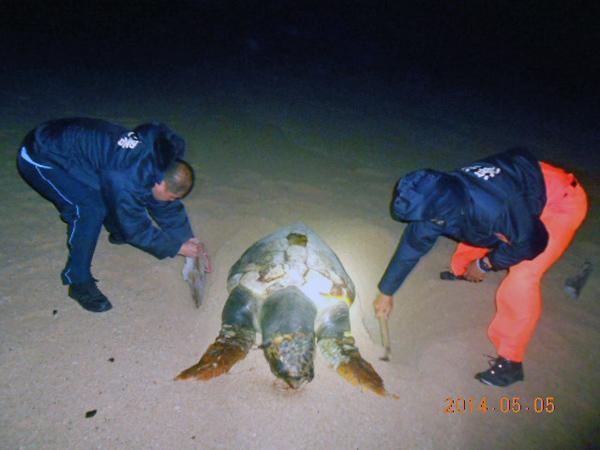 澎湖吉貝沙灘發現的赤蠵龜屍體,前後肢有日本標識野放號碼牌。(讀者提供)