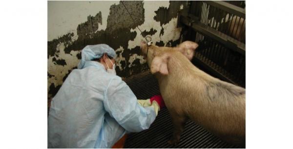 家畜衛生試驗所人員進行豬隻採血動物實驗,研發出豬隻下痢的病原區別診斷技術。(農委會家畜衛生試驗所提供)