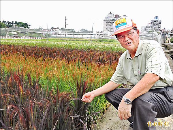 農委會農試所嘉義分所退休研究員陳隆澤,投入彩色稻育種20多年,培育出色彩豐富、多樣的彩色稻。(記者余雪蘭攝)