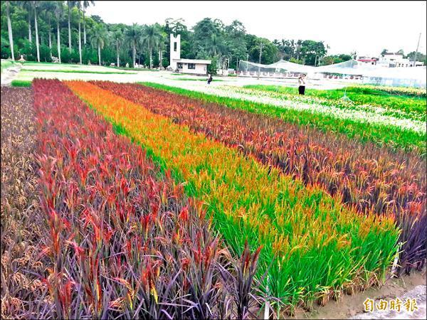 農委會農試所嘉義分所培育出來的彩色稻,10個不同色彩的品種,比日本還要多樣,將向農糧署提出品種權申請。(記者余雪蘭攝)