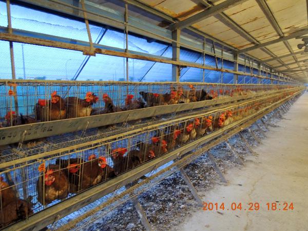 ▲雲林一處土種雞場傳出感染H5N2禽流感低病原病毒,疫調結果並無發現異常死亡及產蛋量下降。(圖︰雲林動植物防疫所提供)