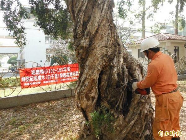 農業局委託專業廠商對老樹進行外科手術,將罹病或腐朽部位「清創」。(記者陳文嬋攝)