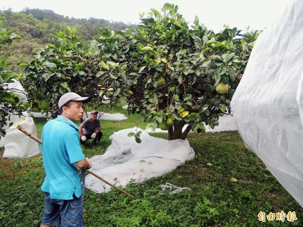 柚農(資料照,記者楊宜敏攝)