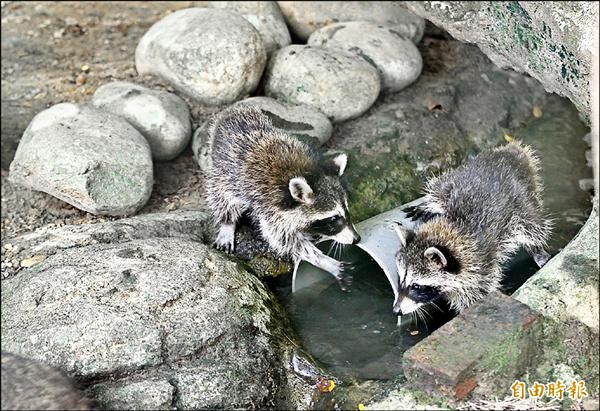 可愛的小浣熊「英桃」和「英灰灰」今天在動物園首度亮相。(記者游蓓茹攝)