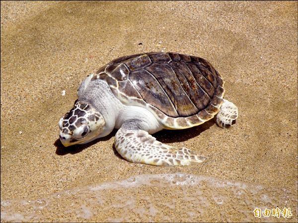 澎湖罕見的欖蠵龜右前肢已斷被收容人員戲稱小楊過重返大海懷抱(記者劉禹慶攝)