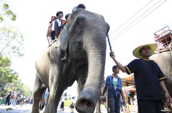年輕的小象受到觀光客的青睞,成為走私客非法捕捉的頭號目標。(圖擷取自BBC)