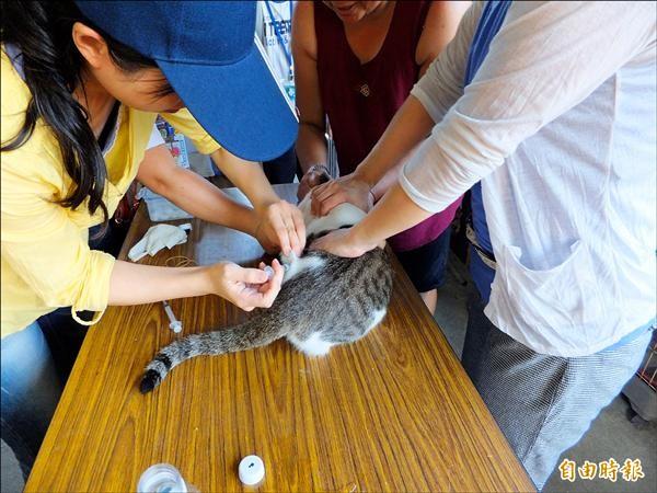 新北市動物防疫保護處為猴硐貓隻施打疫苗。(記者林欣漢攝)