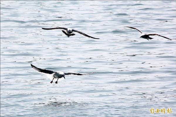 澎湖為野生動物天堂,處處可見海鳥覓食的美景。(記者劉禹慶攝)