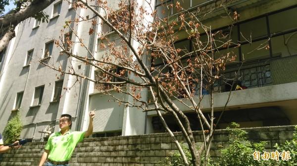 牯嶺櫻花公園的一株吉野櫻花樹,移植後呈現瀕臨枯死的狀態。(記者陳彥鈞攝)
