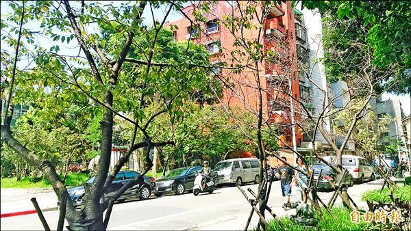 牯嶺櫻花公園整排移植後的櫻花樹幾乎成為枯枝。(記者陳彥鈞攝)