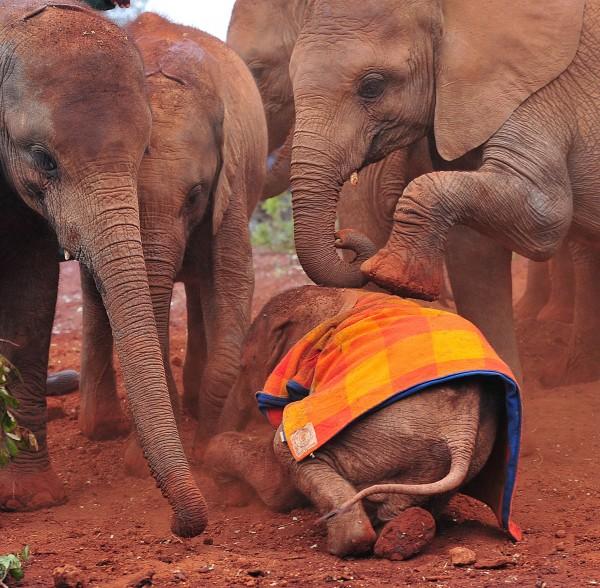 美國最新研究指出,由於盜獵猖獗,使得非洲大象近年的死亡率超過出生率。(法新社)