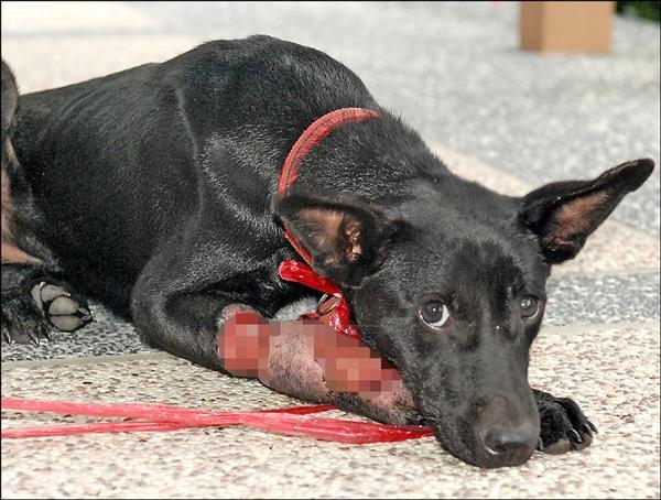 黑色小狗因受困陷阱,餓到啃食自己右前腿充飢,甚至啃到白骨外露!(台灣動物緊急救援小組提供)