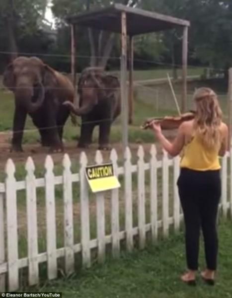 小提琴家對著她的新聽眾大象,拉奏樂曲。(圖擷取自英國每日郵報)