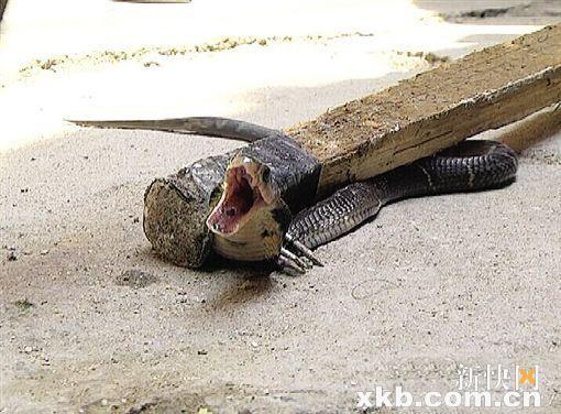 被抓到的眼鏡蛇。(圖片擷取自新快報)
