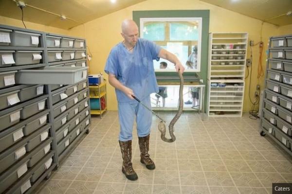 美國一名男子哈里森用有世上最大的毒蛇動物園,每周都要徒手取蛇毒600至1000次。(擷取自《鏡報》)