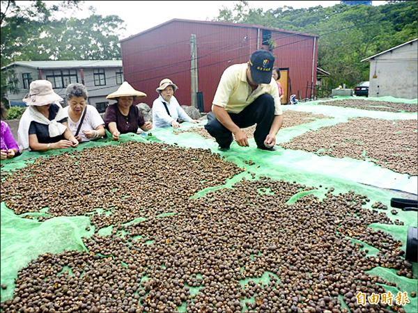 樹興社區居民積極推動農村再生,如今復耕面積已達十五公頃,自產自售「蒔茶油」。圖為居民曬茶籽情形。(記者陳韋宗攝)