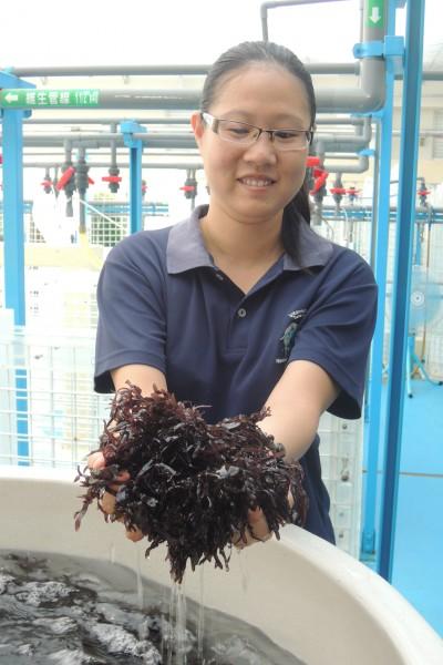 東部海洋生物研究中心水產生物種原庫持續進行海木耳等藻類繁殖。(記者張存薇攝)