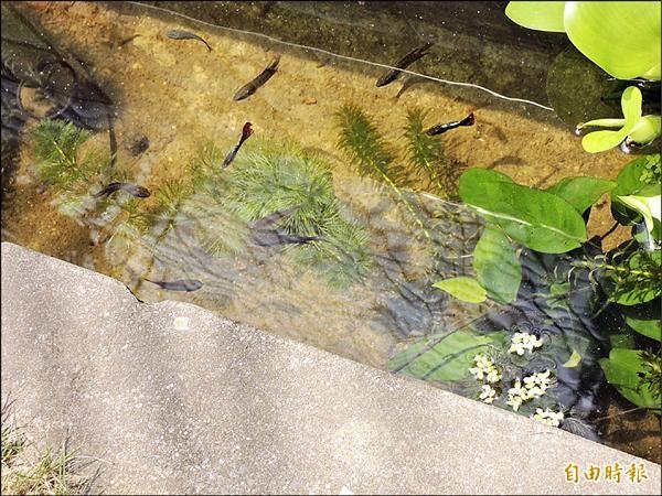 北港農工在學校營造生態池,為台灣原生魚育種。(記者陳燦坤攝)
