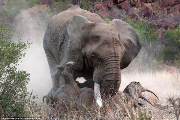 南非某處的一隻大象突襲黑犀牛母子,將母犀牛活活踩死。(圖擷取自每日郵報)