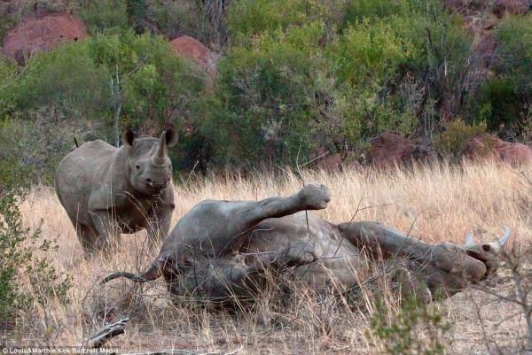 小犀牛事後衝回母犀牛身邊,但無能為力。(圖擷取自每日郵報)
