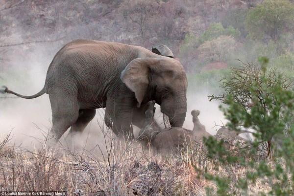 母犀牛為了保護小犀牛被撞翻,面對大象攻擊,毫無還手之力。(圖擷取自每日郵報)
